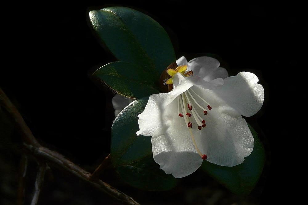 Rhododendron Cilpinense