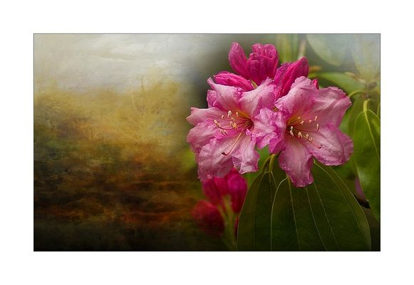 ~Rhododendron~