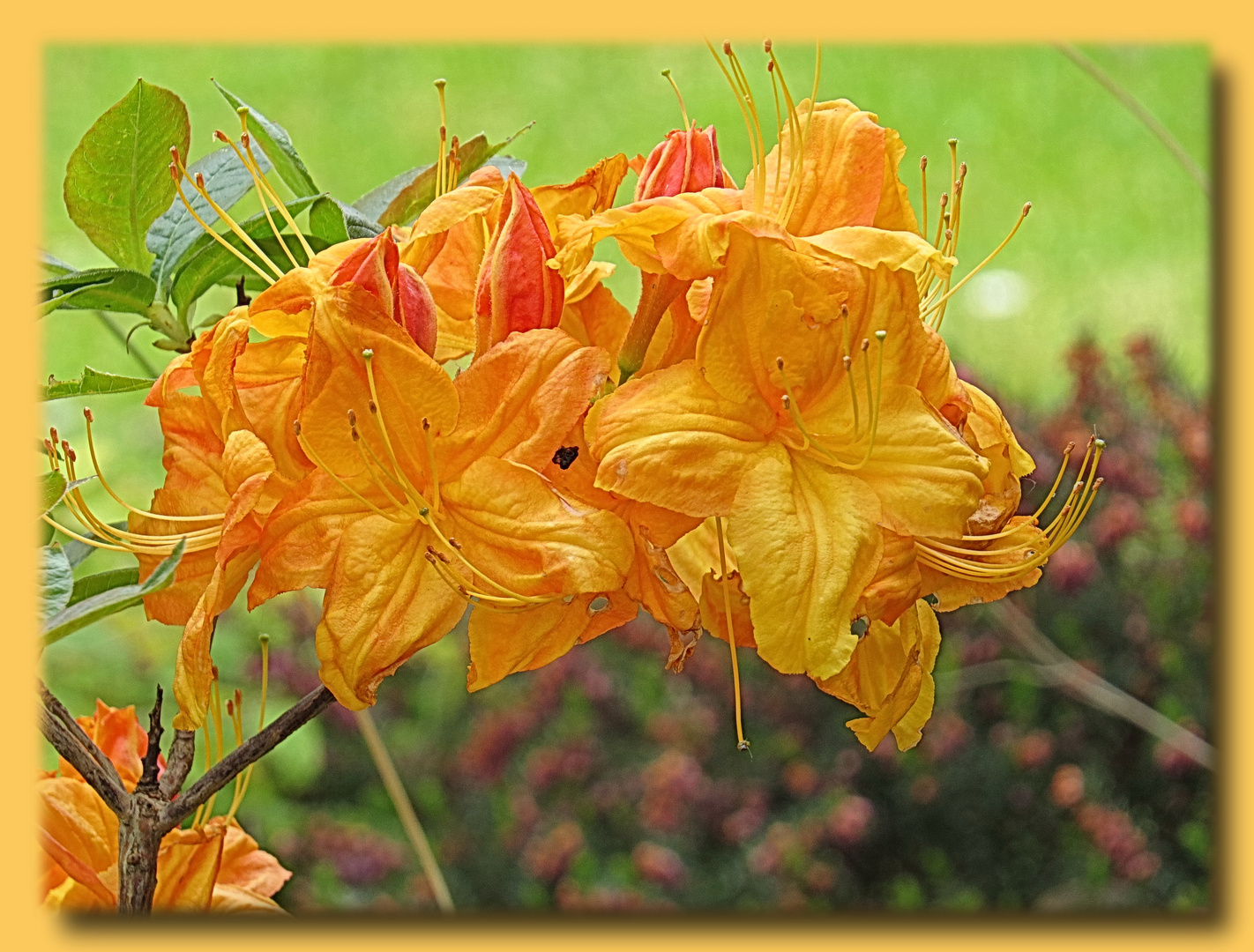 Rhododendron - die gelbe (2)