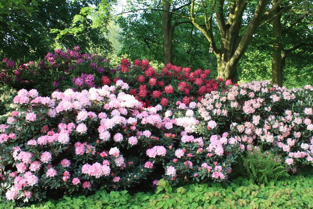 Rhododendron hell und dunkel