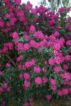 Rhododendron I