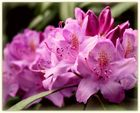 ~Rhododendron III~