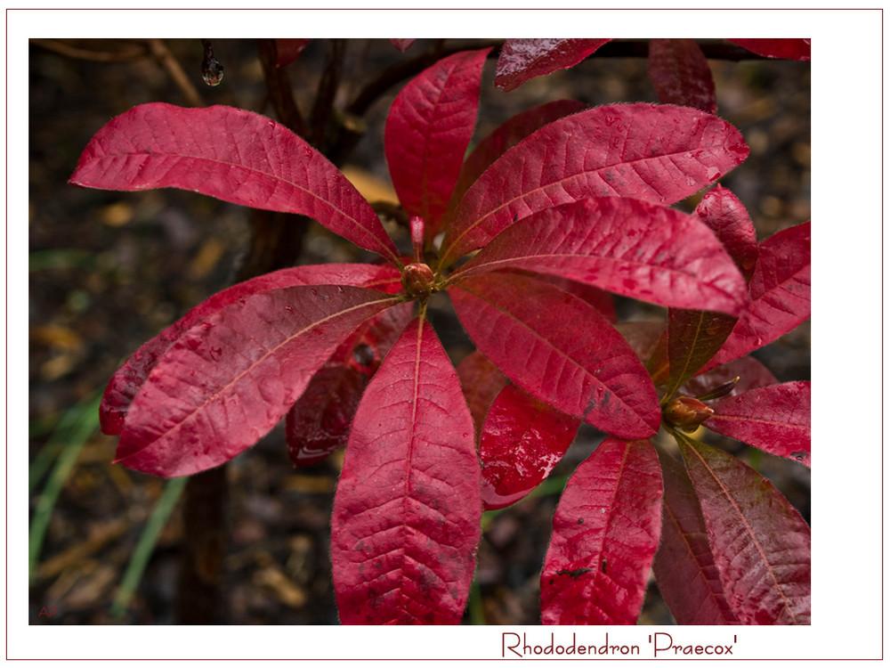 *Rhododendron im Herbst*