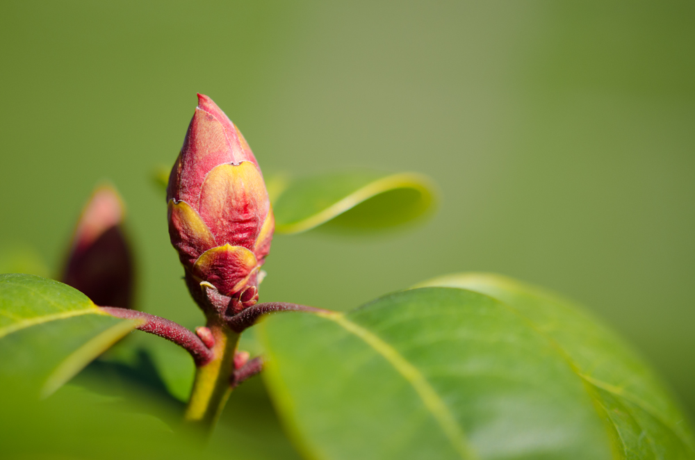 """Rhododendron in den """"Startlöchern"""""""