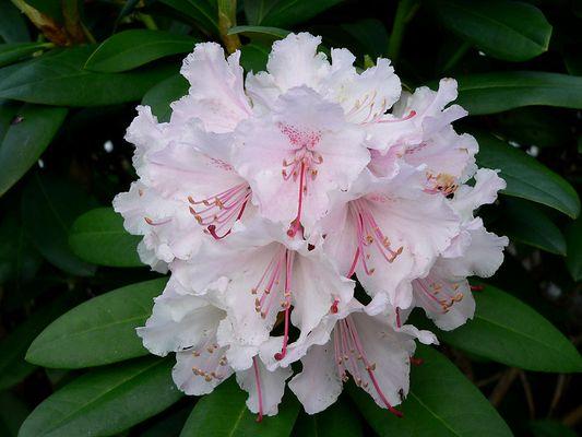 Rhododendron in voller Blütenpracht