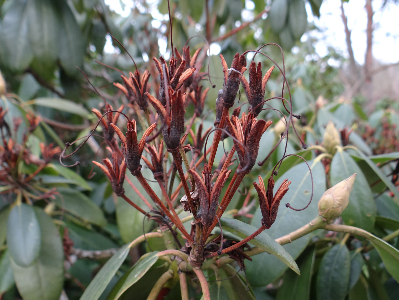 Rhododendron Samenkapseln