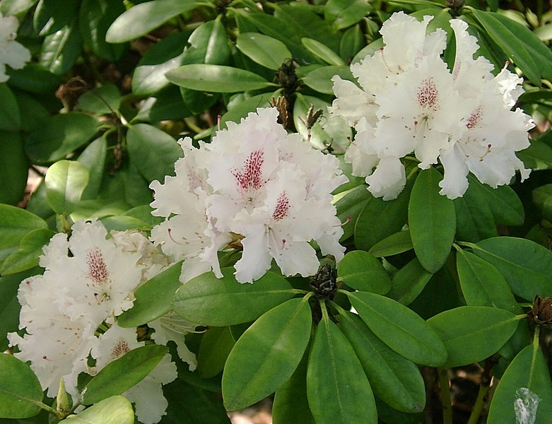 Rhododendron weiss