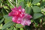 Rhododendronblüte - Mai 2016