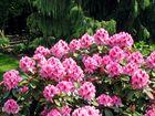 Rhododendronblüten ...