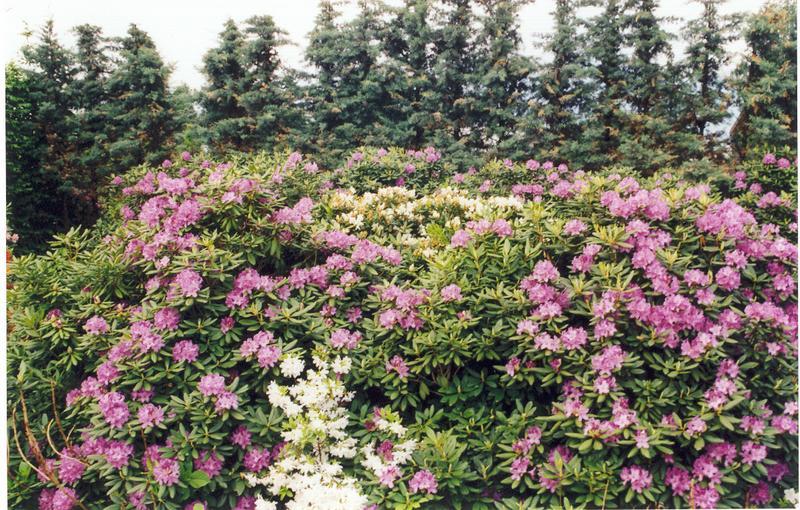 Rhododendronblüten Teil 2