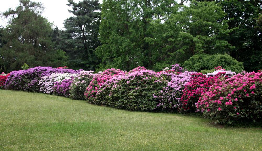 rhododendrongarten dresden loschwitz 3 foto bild pflanzen pilze flechten bl ten. Black Bedroom Furniture Sets. Home Design Ideas
