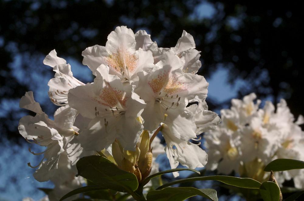 Rhododendronpark Bremen 01