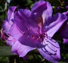 rhododendrons mauves