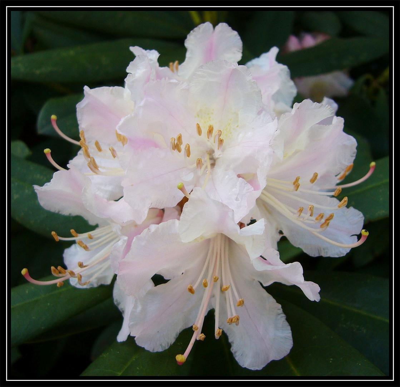 rhododenron bl ten ein hauch von pink foto bild pflanzen pilze flechten str ucher. Black Bedroom Furniture Sets. Home Design Ideas