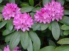 Rhododentron