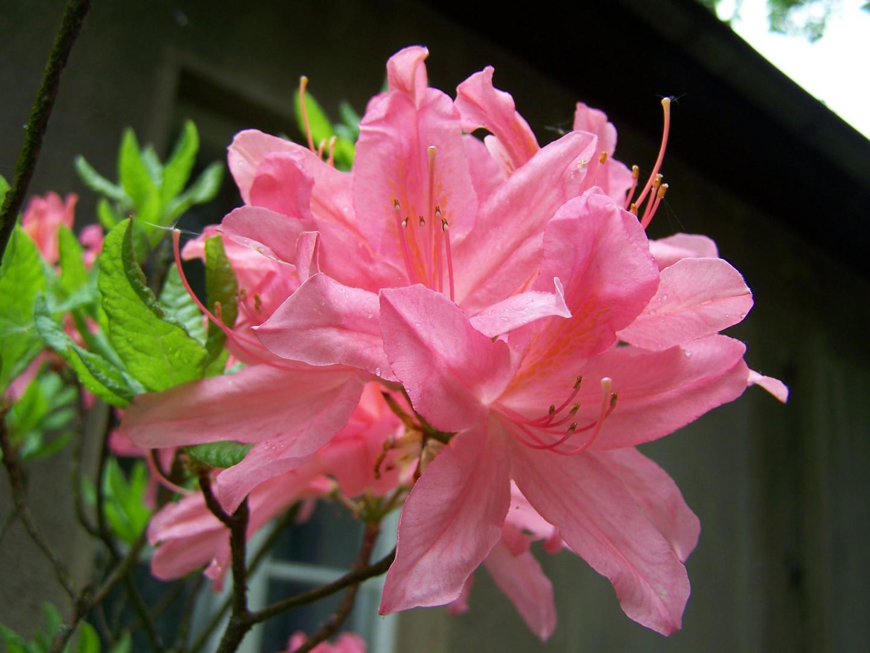 Rhododrendronblüte