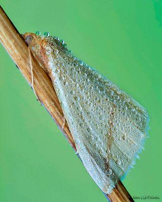 Rhodometra Sacraria.(Falena)
