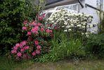 Rhodo's in unserem Garten
