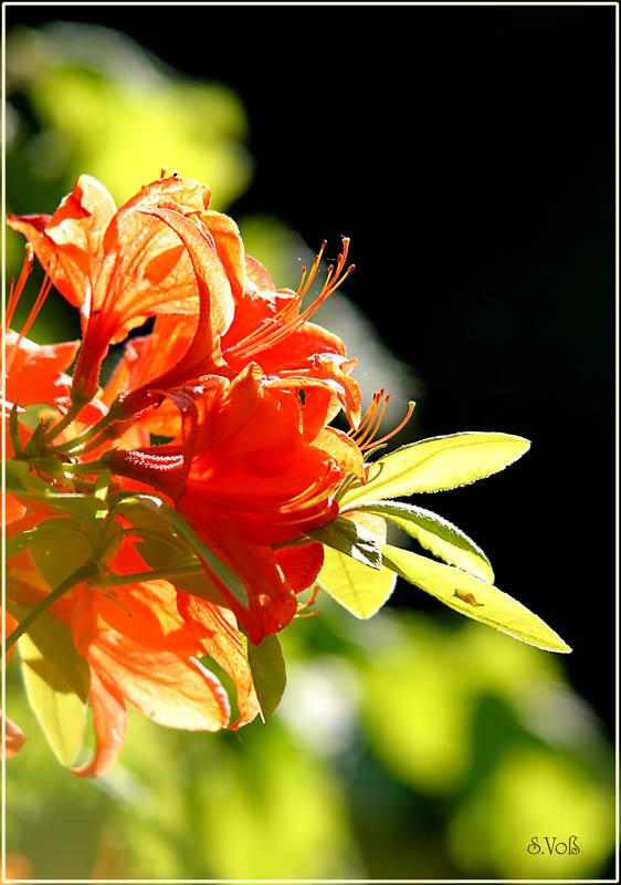 Rhotodendron orange