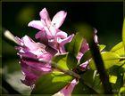 Rhotodendron violett