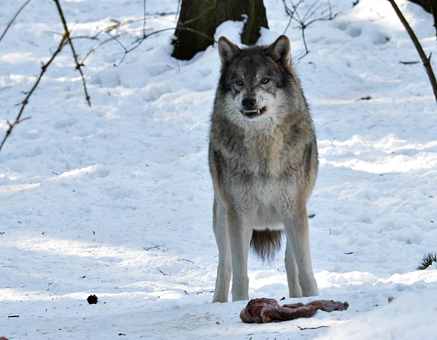 Rico...der Grimmige Grauwolf :-)