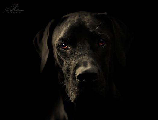 Ridgeback-Dogge-Mix