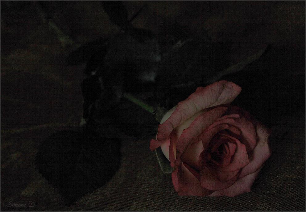 Rien qu'une rose ..