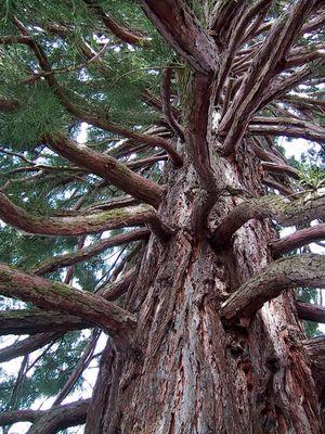 Riese Mammutbaum