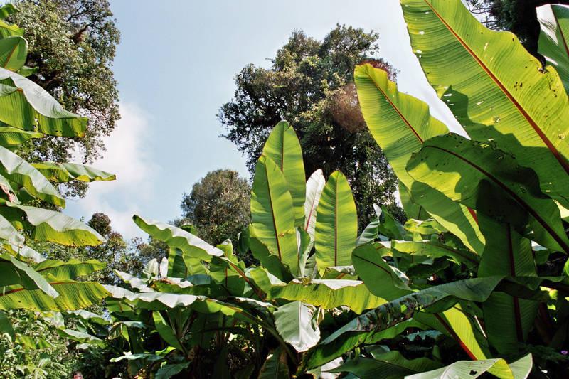 Riesen Bananenblätter