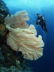 Riesen Gorgonie mit Heike