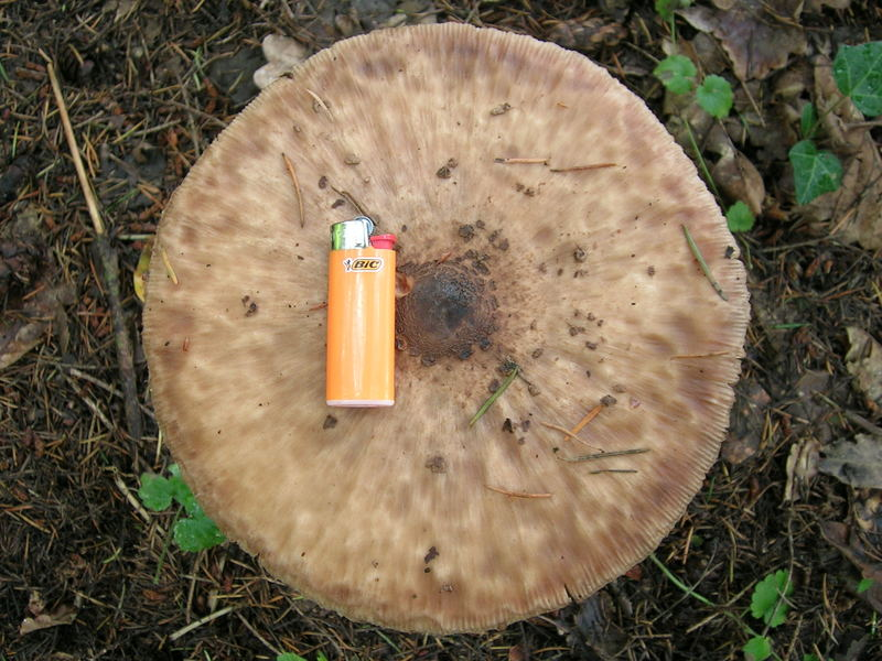riesen schirmling e bar foto bild pflanzen pilze flechten pilze flechten natur. Black Bedroom Furniture Sets. Home Design Ideas