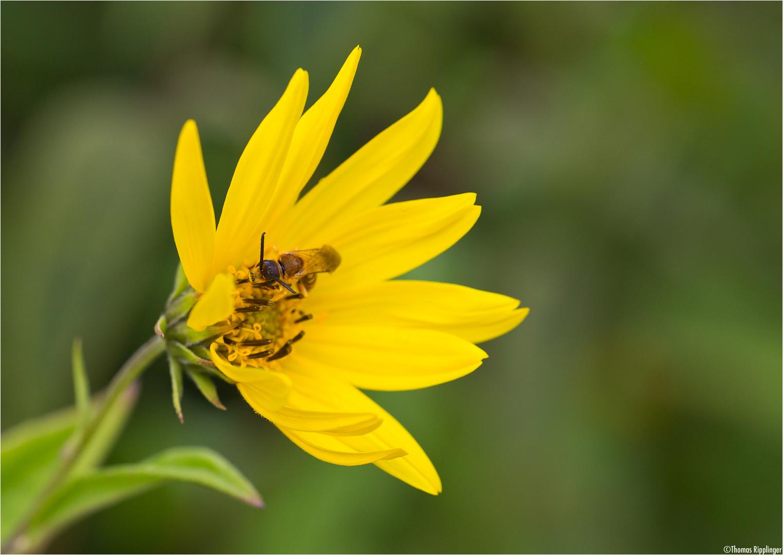 Riesen - Sonnenblume (Helianthus giganteus)..