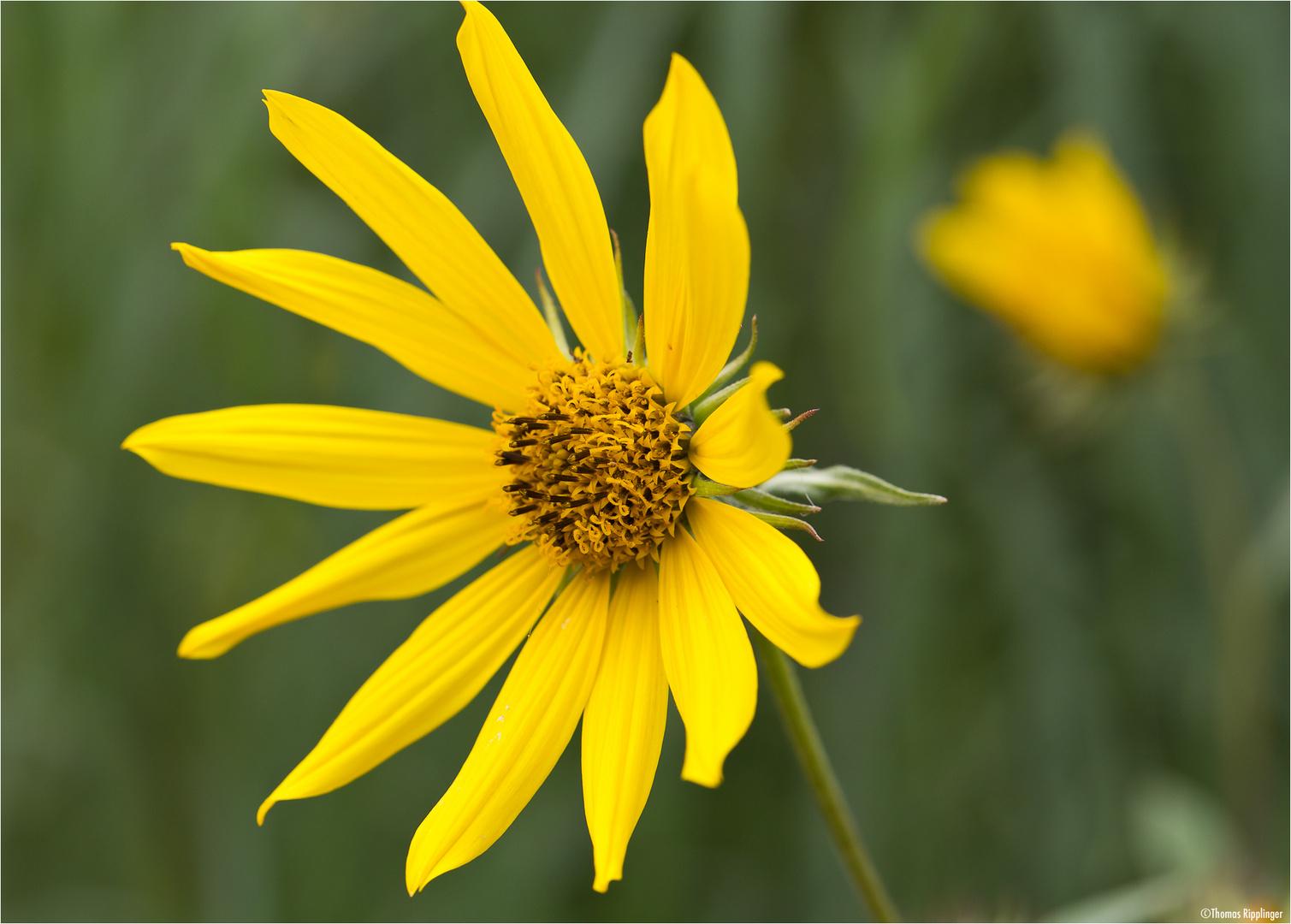 Riesen - Sonnenblume (Helianthus giganteus)