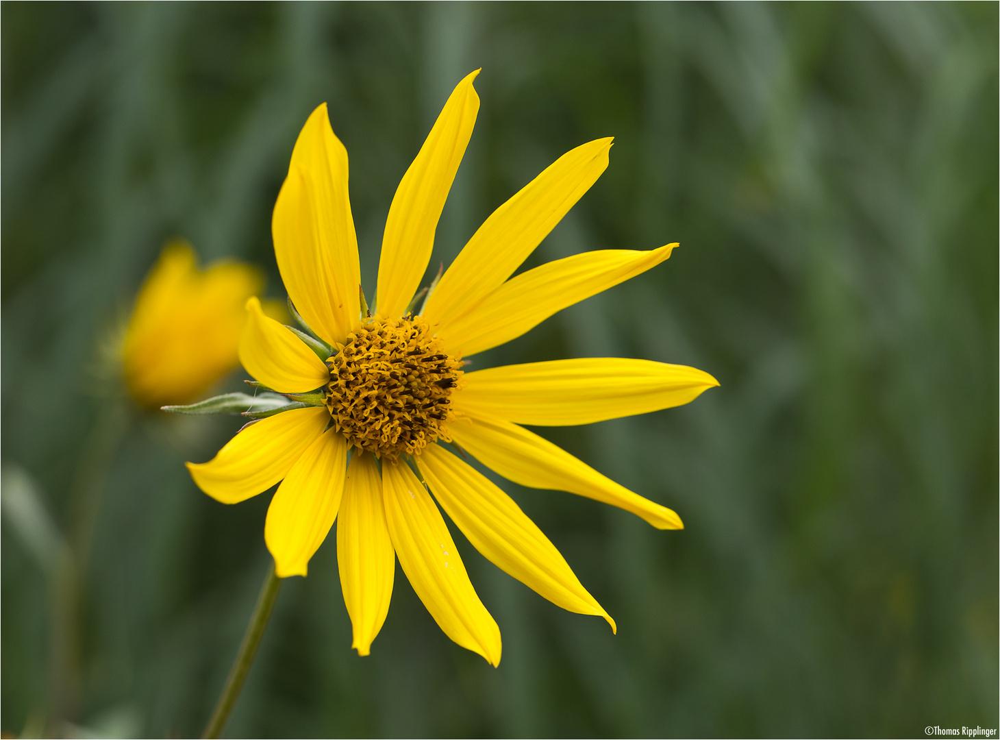Riesen - Sonnenblume (Helianthus giganteus).
