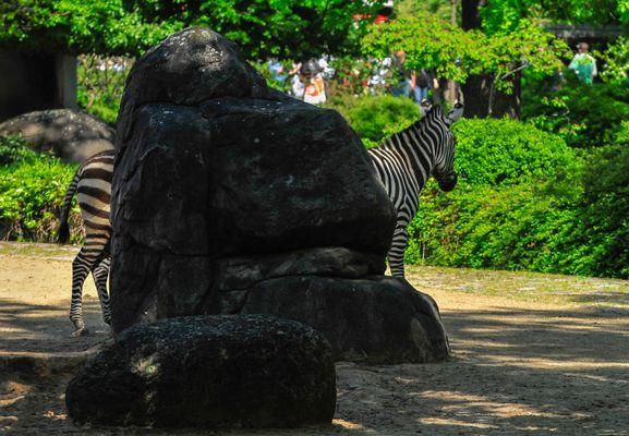 riesen Zebra