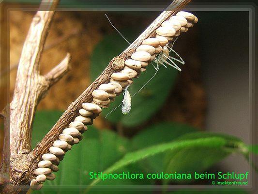 Riesenblattschrecke - Stilpnochlora couloniana beim Schlupf