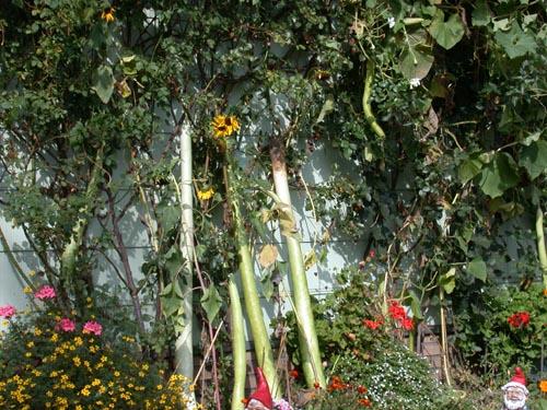 riesenbohnen 2 2 foto bild pflanzen pilze flechten natur bilder auf fotocommunity. Black Bedroom Furniture Sets. Home Design Ideas