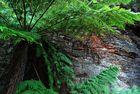 Riesenfarn im Eukalyptusurwald