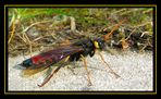 Riesenholzwespe (Urocerus gigas) Männchen