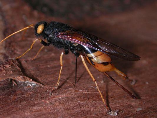 Riesenholzwespe (Urocerusgigas)