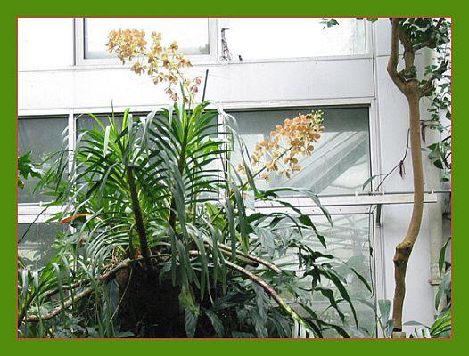 Riesenorchidee