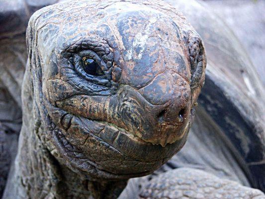 Riesenschildkröte aus Afrika