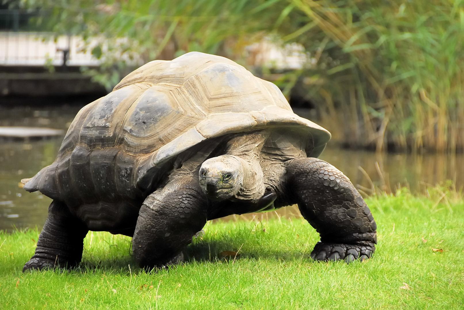 Riesenschildkröte