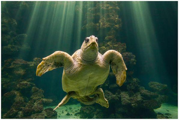 Riesenschildkröte im Licht