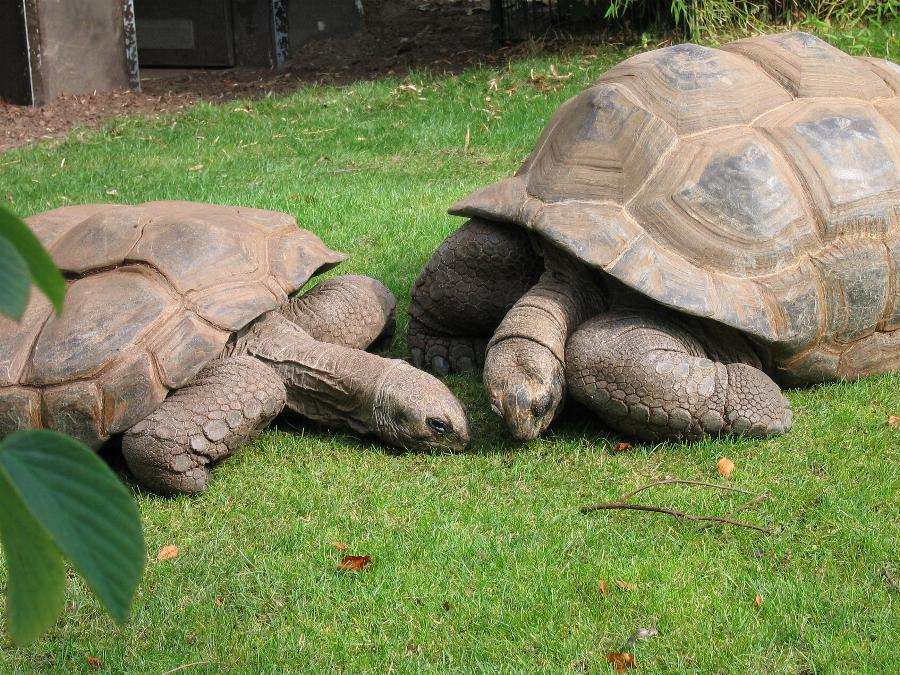 Riesenschildkröten aus dem Zoo Bochum