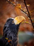 Riesenseeadler im Herbst