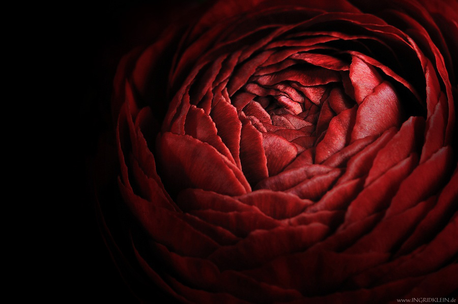 Riesenwunderblume