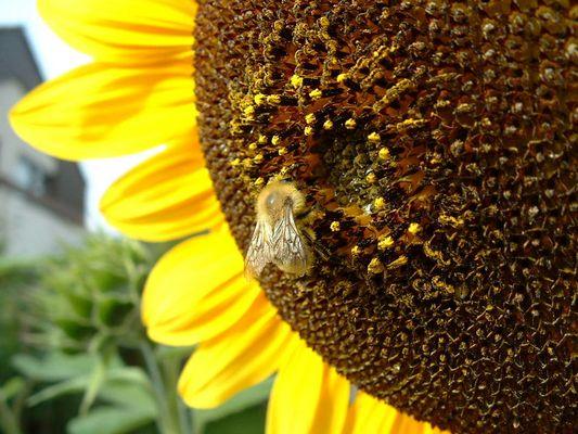 riesige Blüte für kleine Biene