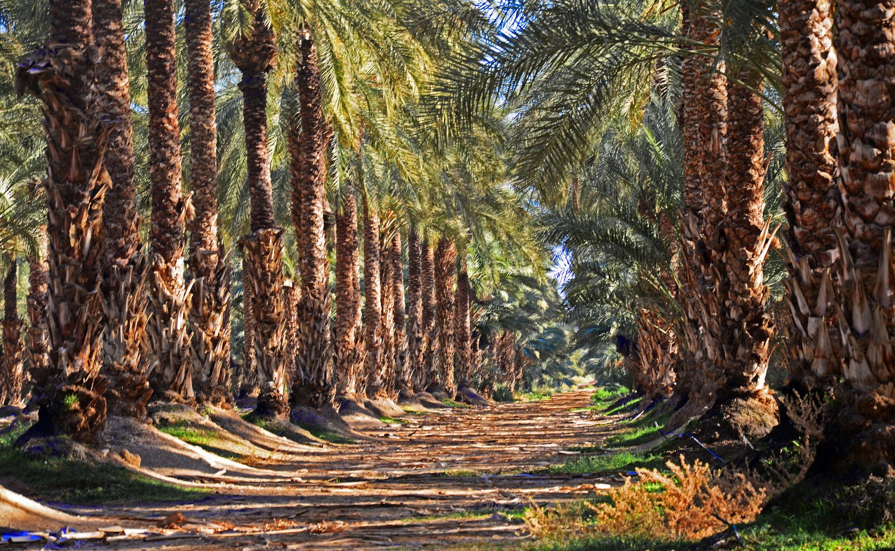 riesige Dattelpalmenplantage mitten in der Wüste Judäas ...