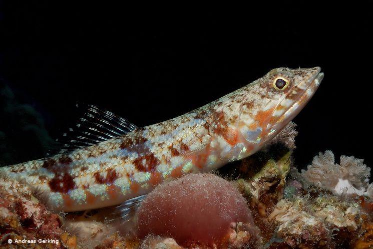 Riff Eidechsenfisch (Synodus variegatus)